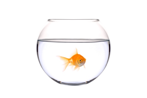 Golden fish (Carassius Auratus)  in a bowl