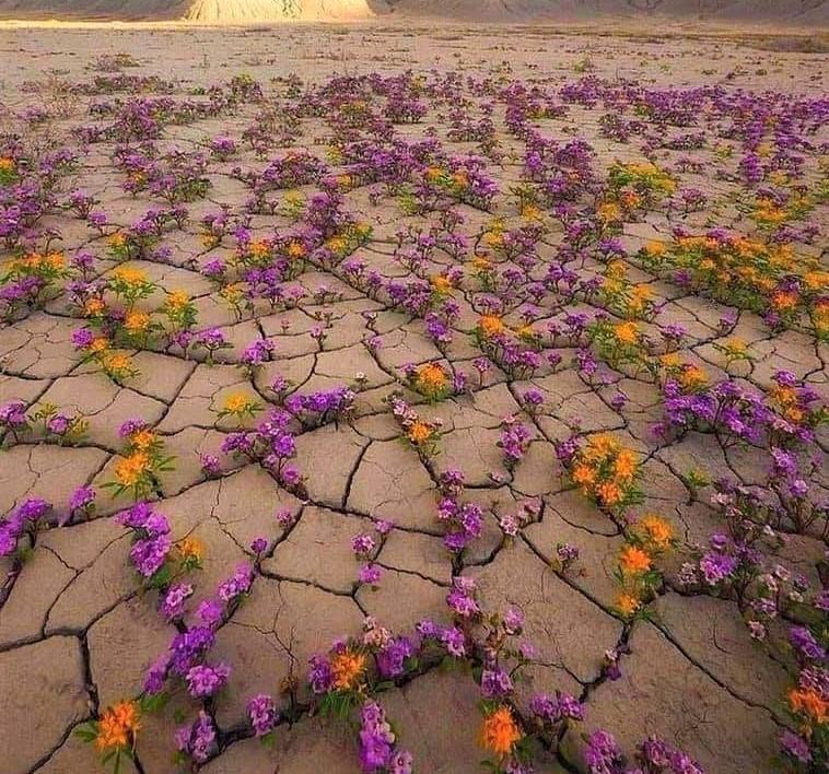 Blumen Wüste